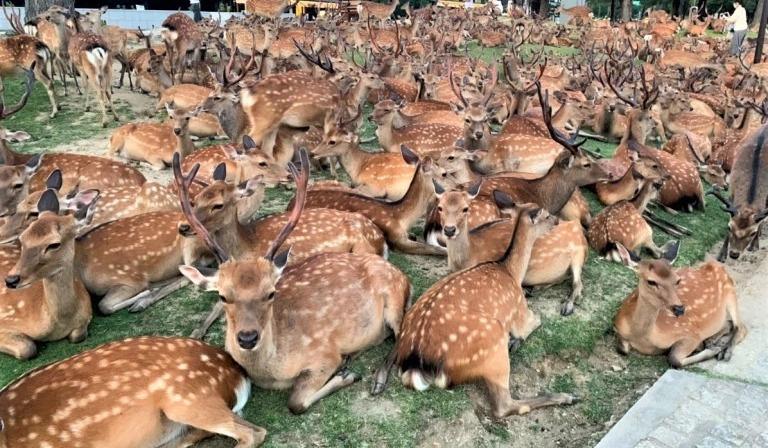 Нара: японский город оленей