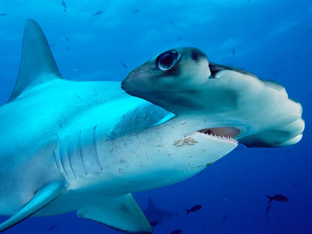 Зачем акуле-молот на голове молот?