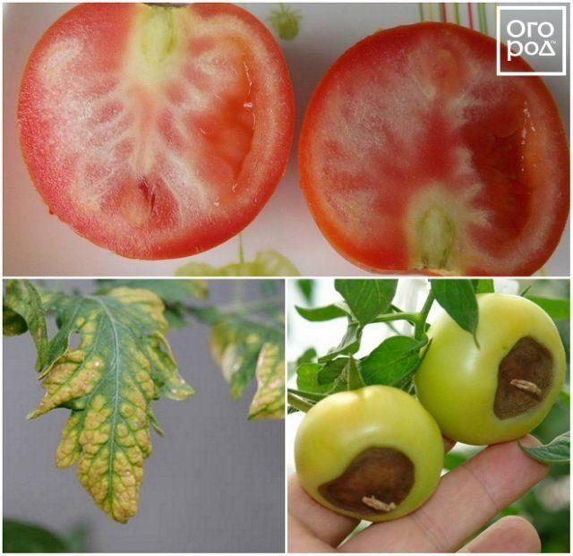 Признаки дефицита калия и кальция у томатов