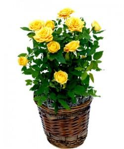 Комнатная миниатюрная роза.
