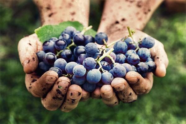Второе рождение винограда: мука с ароматом вина