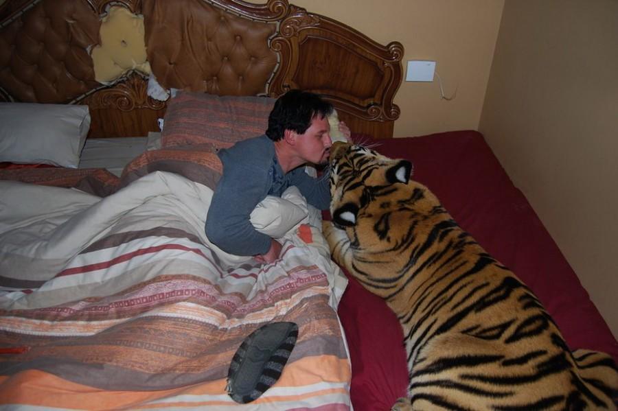 Взрослый амурский тигр живет в доме и спит в постели хозяина как обычный кот