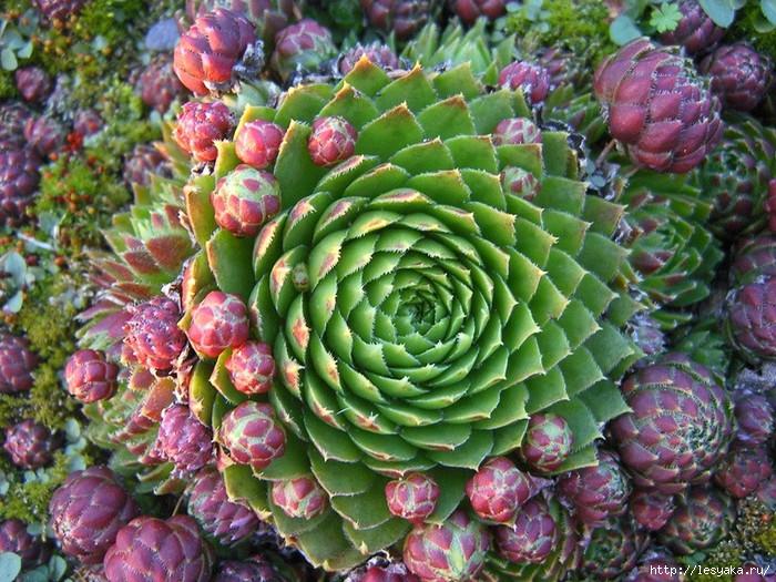 Интересное и необычное растение - Каменная роза!