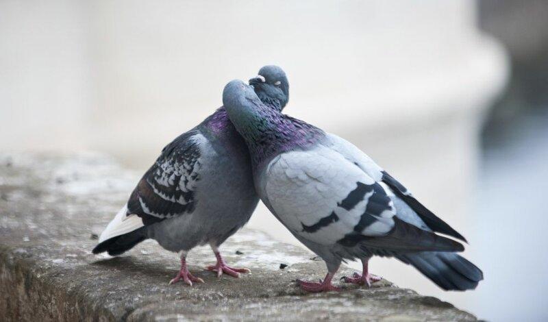 Спасти голубя