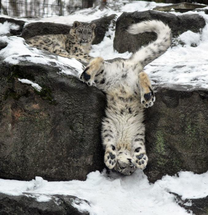 «Уроки акробатики от снежного леопарда»