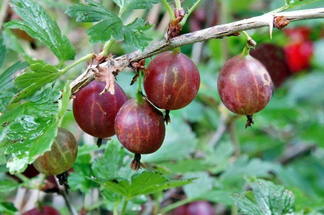 Самый вкусный крыжовник. Как вырастить отборные ягоды?