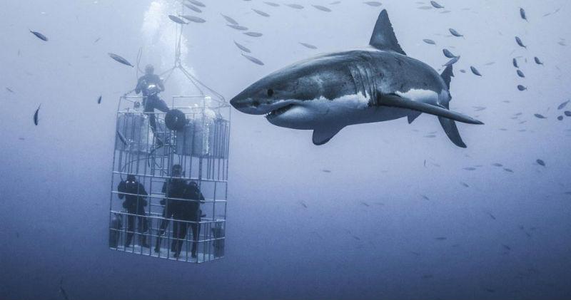 Фотограф снял огромную белую акулу, которая кружится вокруг клетки с дайверами
