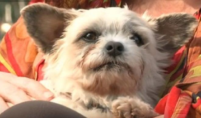 «Страшнее дома места нет!»: история крошечного пса, который не выдержал издевательств и предпочел убежать