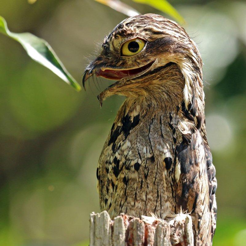 Исполинский козодой: птица, окутанная ореолом тайн и мрачных поверий