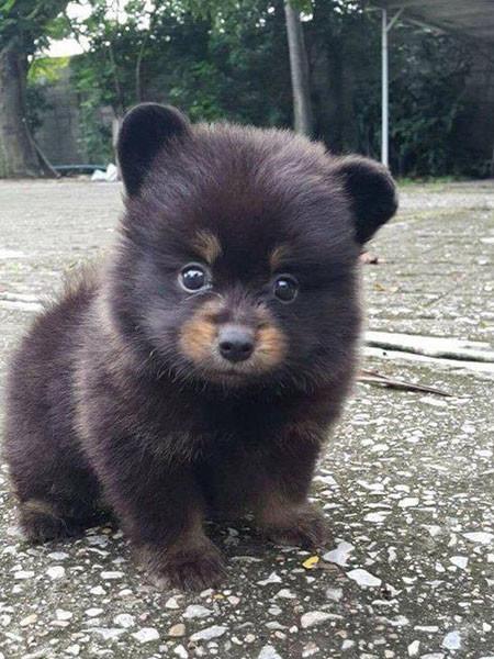 Он принес домой щеночка, а вырос…медведь!
