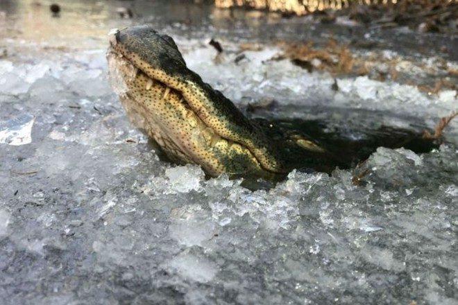 Как крокодилам удаётся выживать в ледяном плену