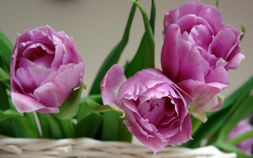фиолетовые тюльпаны, корзина