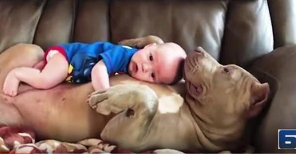 Малыш залез на огромного питбуля! Реакция собаки — это нечто!
