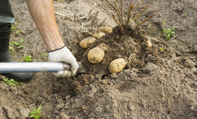 Когда копать картофель, или …