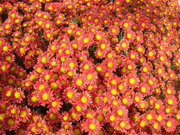 Хризантема сорт Сухоцветик