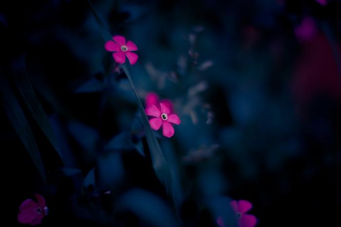 Розовые цветы. Автор: Luis Mariano Gonzalez.