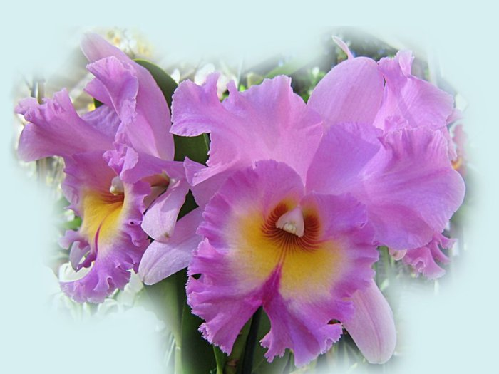 5230261_orhideya16 (700x525, 49Kb)