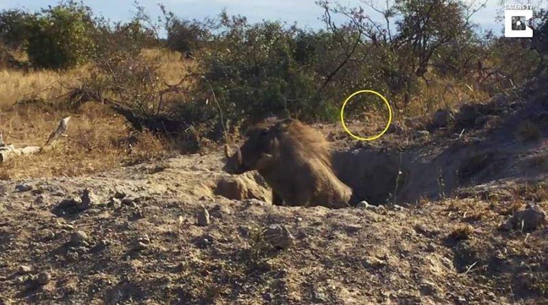 Хорошо замаскировавшемуся леопарду удалось добыть для себя детёныша бородавочника