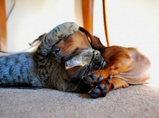 Коты, которые по уши втрескались в собак…