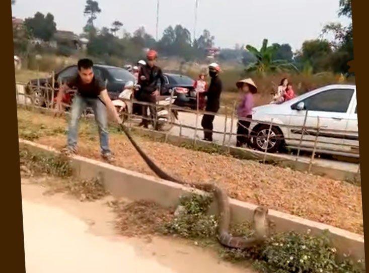 Огромная кобра стала причиной затора на вьетнамской дороге