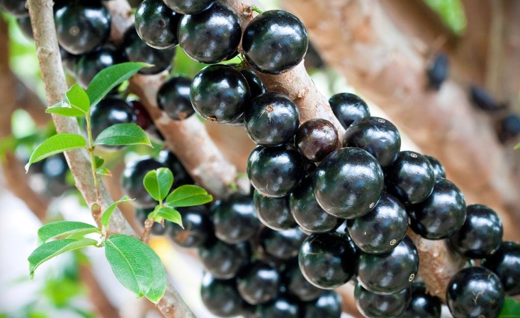 Польза плодов виноградного дерева. Фото