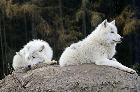 Генетики вновь оспорили сроки одомашнивания волков доисторическими людьми