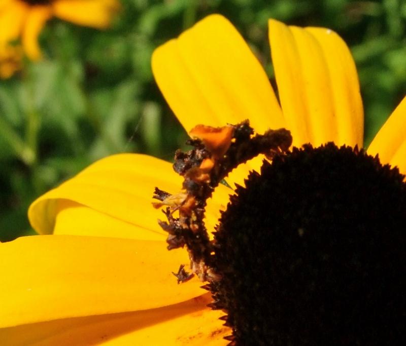 caterpillar07 Чудеса мимикрии: Гусеница цветок