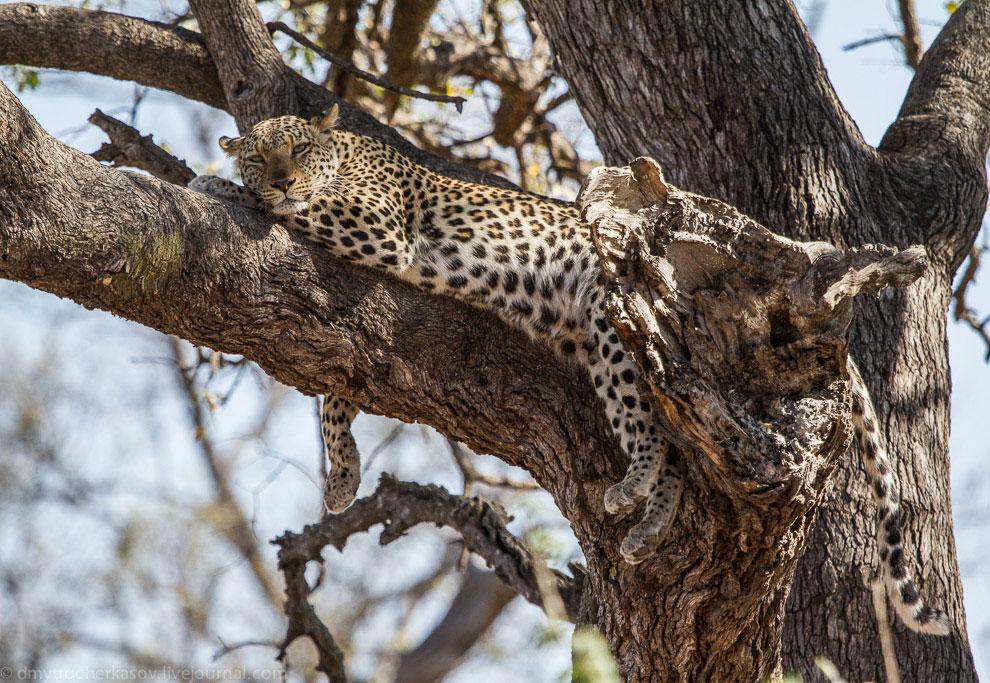 Жизнь леопардов в объективе