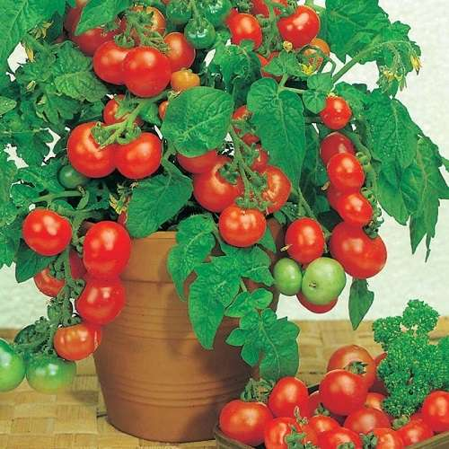 Как вырастить томаты к Новог…