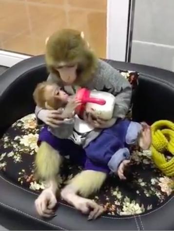 Невероятно трогательное видео – обезьянка кормит детеныша из бутылочки