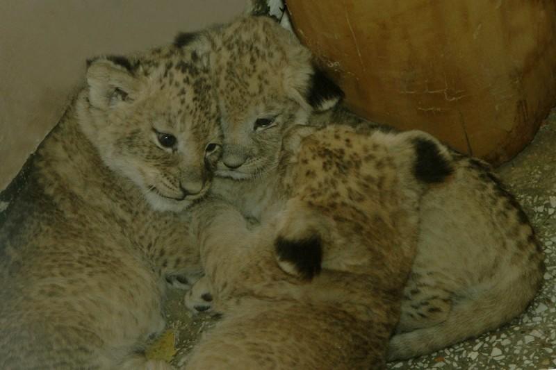 В зоопарке Екатеринбурга родились три львенка