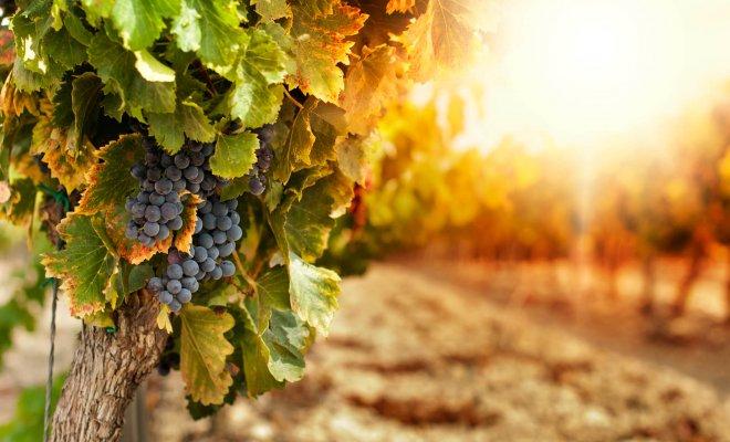Как ухаживать за виноградом …
