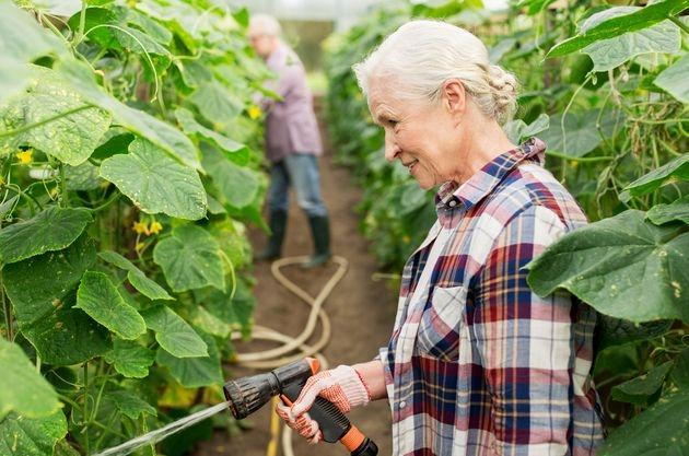 5 правил плодоношения огурца до конца лета