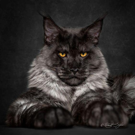 Кот мейн-кун: фото, описание породы, где купить
