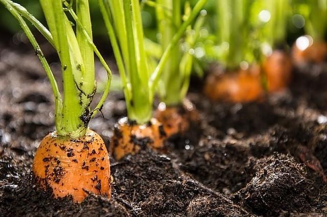 Как посеять морковь, чтобы выросла крупной