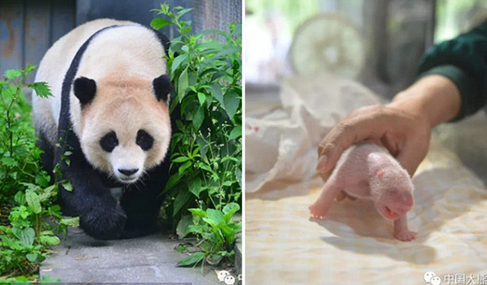 Панда Чао-Чао родила двойняшек, процесс рождения засняли на камеру