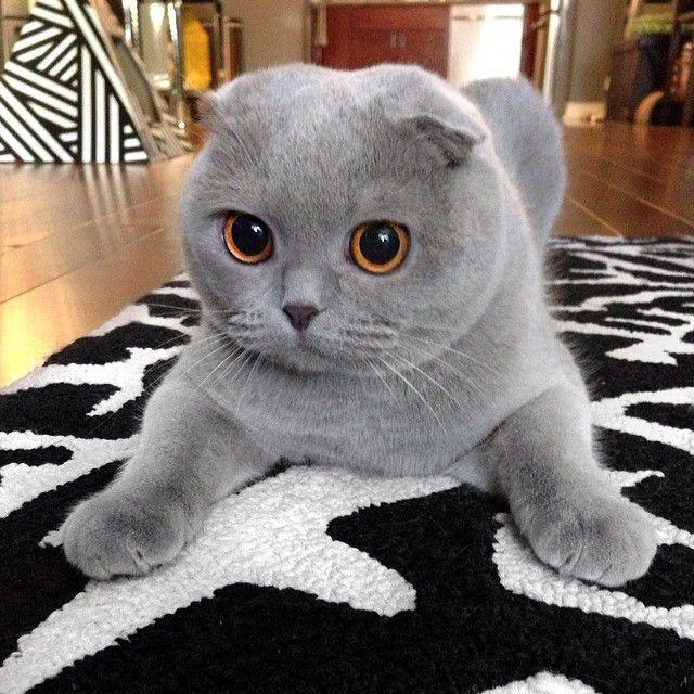 Мила, покорившая интернет своими глазами кошка, мила йовович, скоттиш фолд, мила, шотландская вислоухая