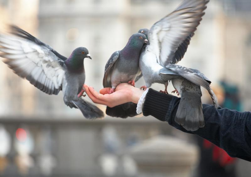 Опасны ли городские голуби для человека?