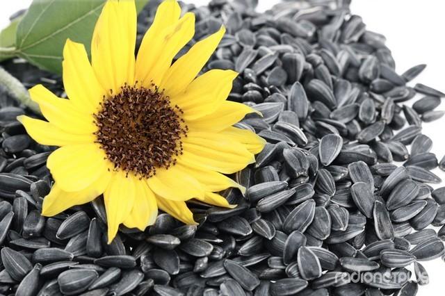 Польза и вред семечек подсолнечника