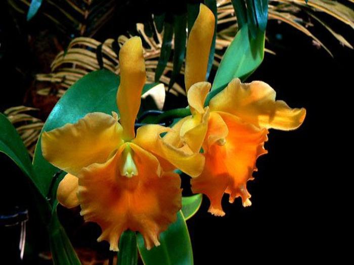 5230261_orhideya_dop_plus_5 (700x524, 94Kb)
