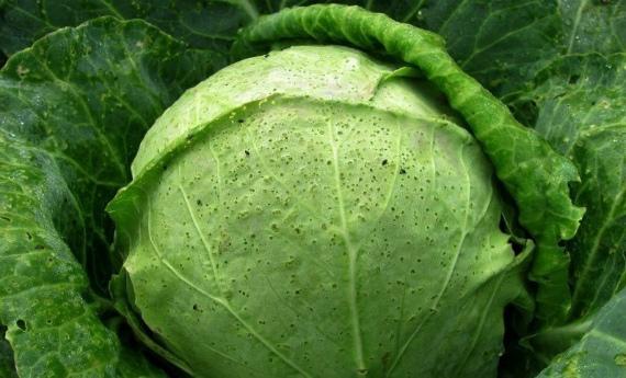 Чем опасны крестоцветные блошки для капусты