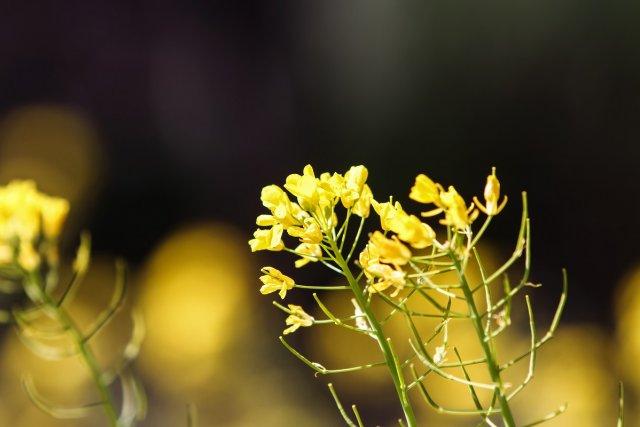 Field mustard (Brassica rapa) in the field