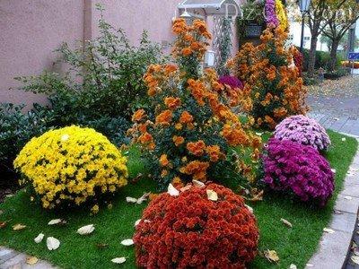 Осенняя клумба с шикарными шарами хризантем