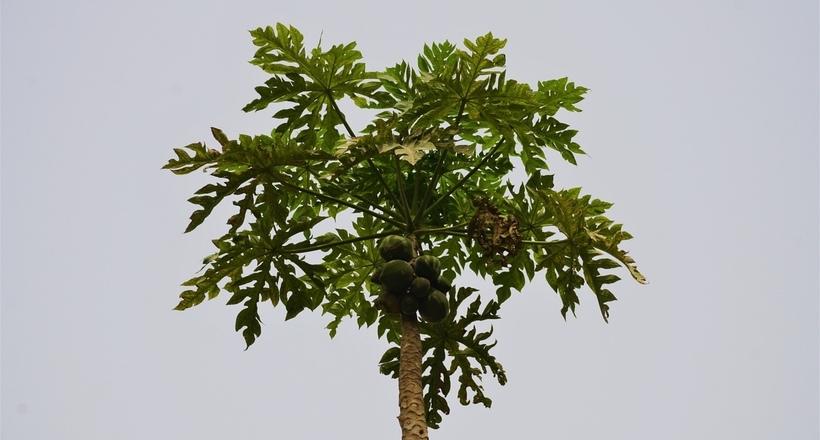 Как растет папайя