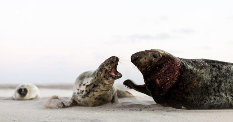 Остров Сейбл - заповедник крупнейшей в мире колонии тюленей-тевяков