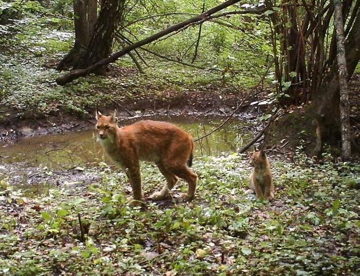К речке вышла рысь с детенышем.