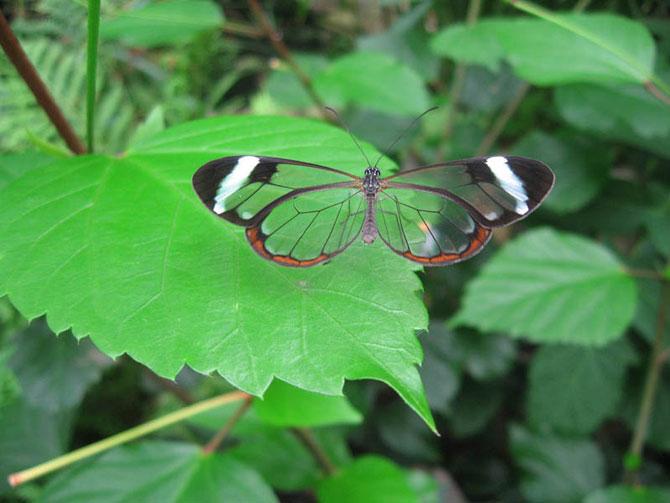 Прозрачная бабочка