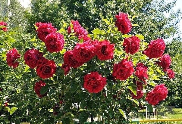 Водочная настойка для спасения безнадежных роз