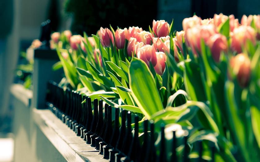 тюльпаны, клумба