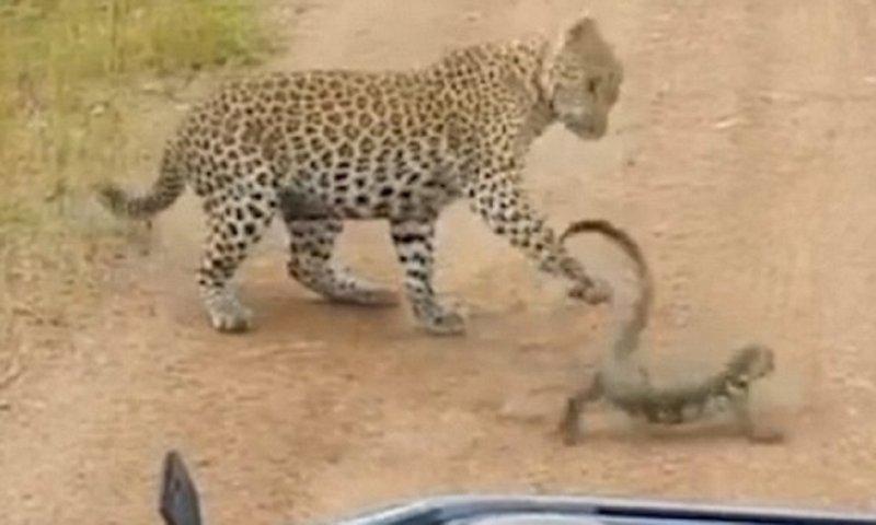 Битва в саванне: молодой леопард против варана